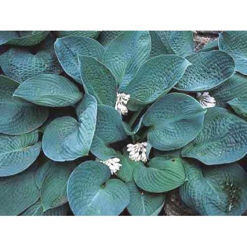 Plante Hosta Blue Vision - Crin de toamna