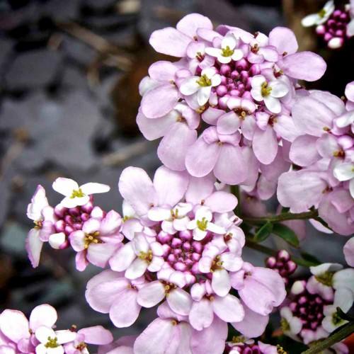 Plante Iberis semp. Pink Ice - Lilicele