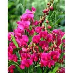 Plante Lathyrus latifolius Red Pearl - Sangele voinicului