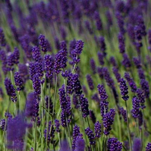 Plante Lavandula angustifolia Hidcote Blue - Lavanda