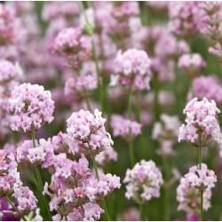 Plante Lavandula angustifolia Hidcote Pink - Lavanda