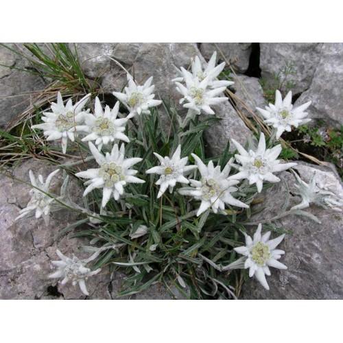 Plante Leontopodium alpinum - Floare de colt