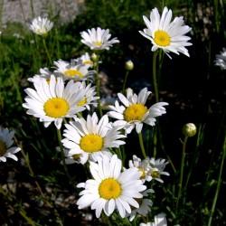 Plante Leucanthemum vulgare - Margareta timpurie