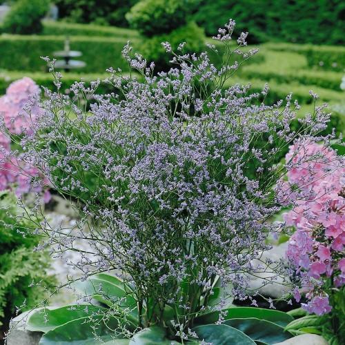 Plante Limonium latifolium - Statice