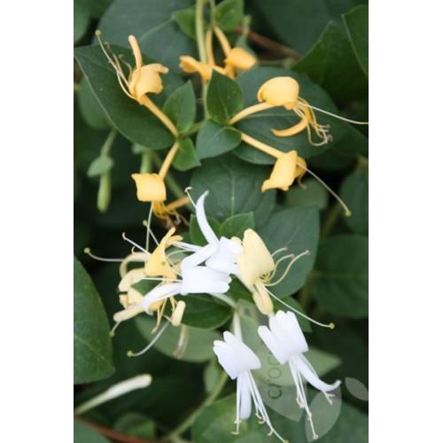 Plante Lonicera japonica - Mana Maicii Domnului