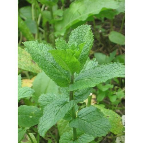 Plante Mentha spicata Maroccana