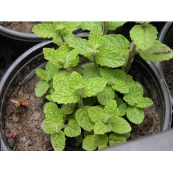 Plante Mentha spicata Strawberry