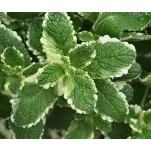 Plante Mentha suaveolens Variegata-Menta