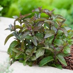 Plante Mentha piperita Chocolate