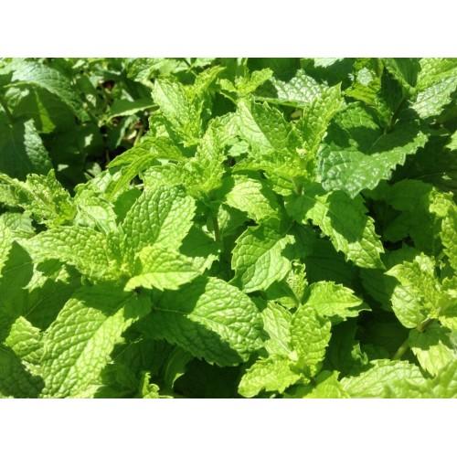 Plante Mentha villosa Mojito -Menta