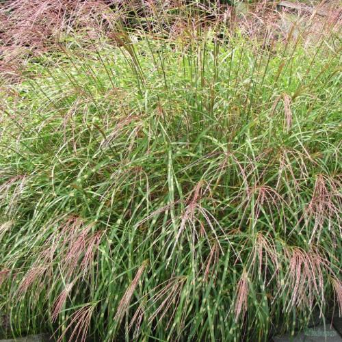 Plante Miscanthus sinuatum Little Zebra - Miscanthus