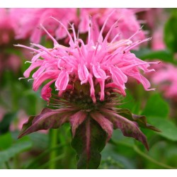 Plante Monarda Croftway Pink - Monarda