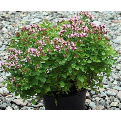 Plante Origanum vulgare Compactum - Oregano