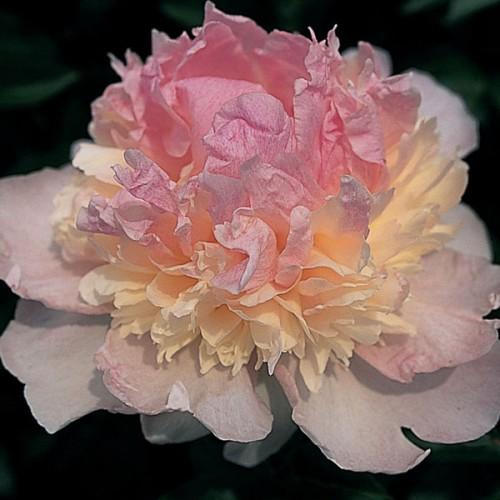 Plante- Bujor hybrid Raspberry Sundae