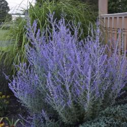 Plante Perovskia atrop. Lacey Blue - Salvie ruseasca