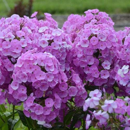Plante Phlox paniculata Fashionably Lavender Ice - Brumarele