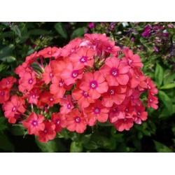 Plante Phlox paniculata Windsor - Brumarele