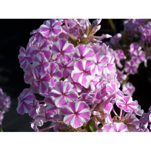 Plante Phlox maculata Natascha - Brumarele