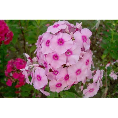 Plante Phlox paniculata Brilliant Eye - Brumarele