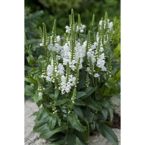 Plante Physostegia virginiana Crown of Snow