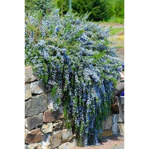 Plante Rosmarinus officinalis Prostratus - Rosmarin curgator