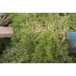 Plante Sedum - iarba grasa