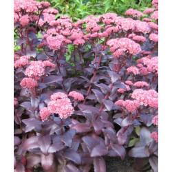 Plante Sedum telephium Purple Emperor - iarba grasa