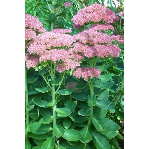 Plante Sedum telephium - iarba grasa