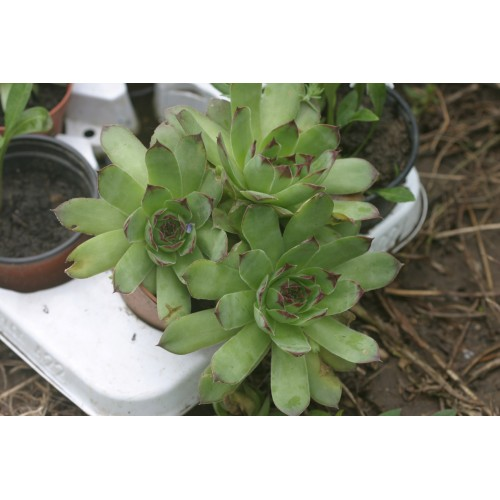 Plante Sempervivum - urechelnita