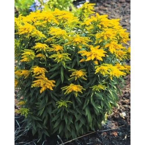 Plante Solidago canadensis - pitic - Sanziana de gradina