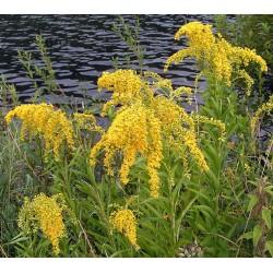 Plante Solidago canadensis - inalt - Sanziana de gradina