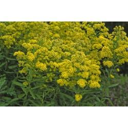 Plante Solidaster luteus