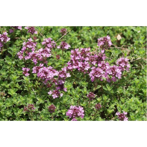 Plante Thymus serphyllum Magic Carpet - Cimbrisor