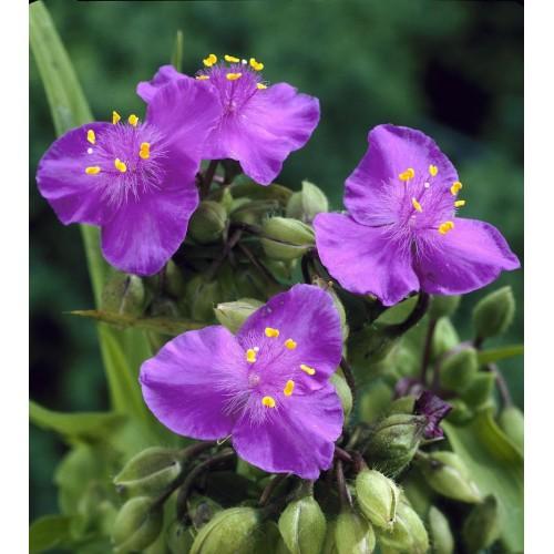 Plante Tradescantia virginiana Valour - Planta sabie