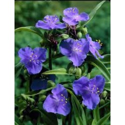Plante Tradescantia virginiana Zwanenburg Blue - Planta sabie