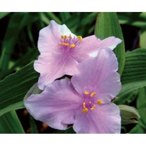 Plante Tradescantia virginiana Perinne's Pink - Planta sabie