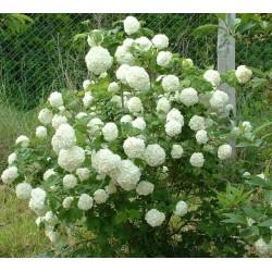 Plante Viburnum opulus Boule de Neige - Bulgare de zapada