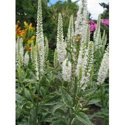 Plante Veronica longifolia Charlotte - Veronica,șopârliță