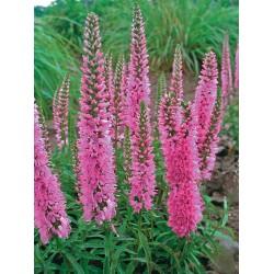 Plante Veronica longifolia Charming Pink - Veronica,șopârliță