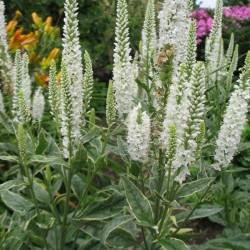 Plante Veronica longifolia Melanie White - Veronica, șopârliță