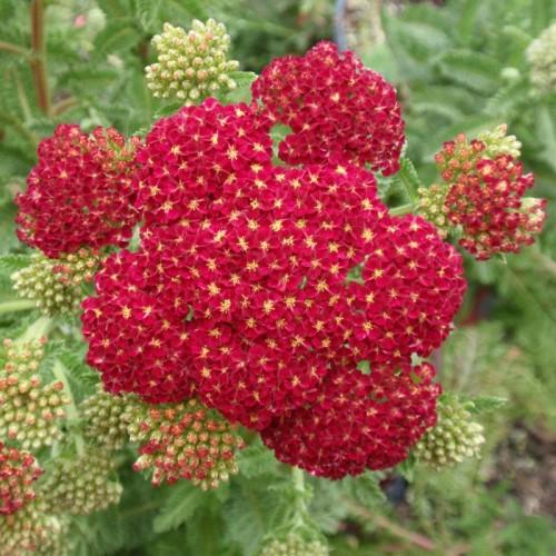 Plante Achillea millefolium Red Velvet-Coada soricelului