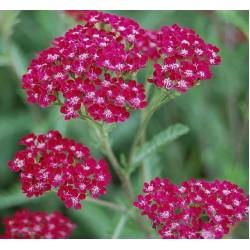 Plante Achillea millefolium Summerwine - Coada soricelului