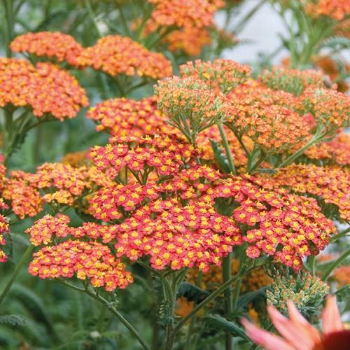 Plante Achillea millefolium Walter Funcke-Coada soricelului
