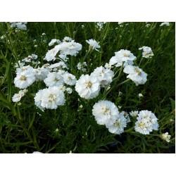 Plante Achillea ptarmica The Pearl-Coada soricelului