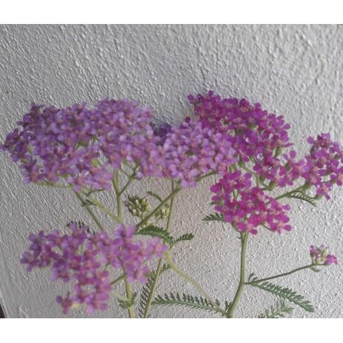 Plante Achillea millefolium Summer Wine - Coada soricelului