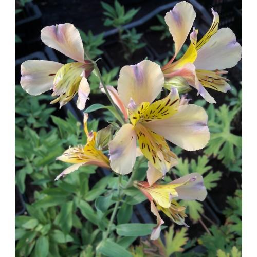 Plante Alstroemeria aurantica Nicholas - Crin peruvian