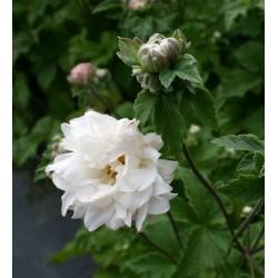 Plante Anemone hybrida Tiki Sensation-Anemone japoneze