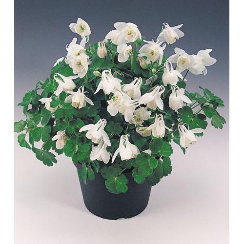 Plante Aquilegia flabellata Cameo White-Caldaruse