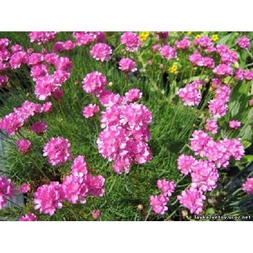 Plante Armeria maritima Rosea - Limba pestelui