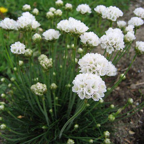 Plante Armeria maritima Alba - Limba pestelui